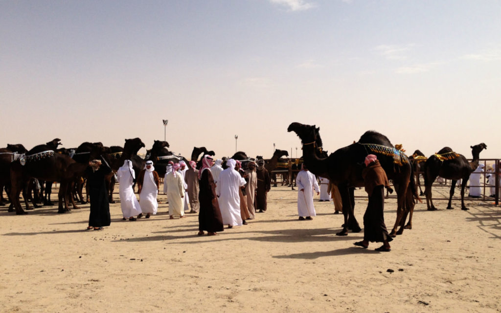 Camels being judged at a beauty contest in Abu Dhabi