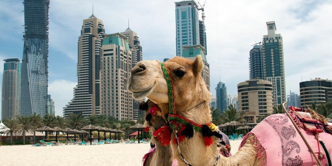 Dubai Camel on JBR The Beach
