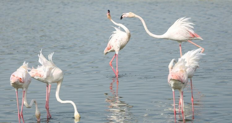 Flamingoes at ras al khor
